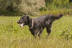 Image of dogs breed Flat-Coated Retriever Stock Photography