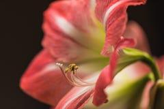 Image douce de foyer des fleurs roses d'amarylis de pleine floraison photos stock