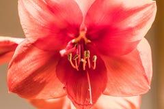 Image douce de foyer des fleurs rouges d'amarylis de pleine floraison image libre de droits