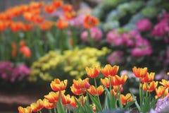 Image douce jaune-orange de tulipes Photo libre de droits