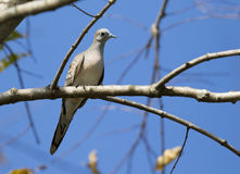 Image of dove bird perched on a tree branch. Royalty Free Stock Image