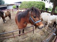 Image drôle d'un petit poney brun blanc mignon de petite taille de cheval Photos stock