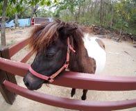Image drôle d'un petit poney brun blanc mignon de petite taille de cheval Image libre de droits