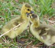 Image drôle avec deux jeunes poussins mignons des oies de Canada dans l'amour Image libre de droits