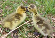 Image drôle avec embrasser de jeunes poussins mignons des oies de Canada Photos stock