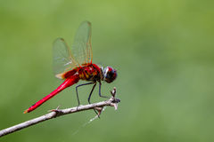 Image of a dragonfly Macrodiplax cora on nature background. Royalty Free Stock Photo