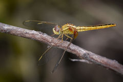 Image of a Dragonfly Pantala flavescens. On nature background. Insect Animal royalty free stock image