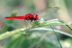 Image of dragonfly perched on a tree branch Royalty Free Stock Photography