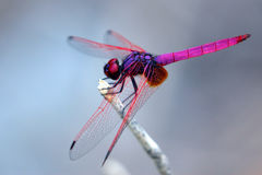 Image of dragonfly perched on a tree branch Royalty Free Stock Photo