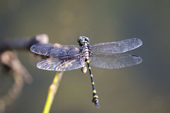 Image of dragonfly perched on a tree branch. Stock Photography