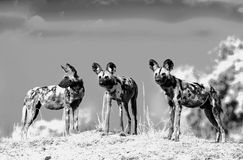 Image dramatique noire et blanche de trois chiens sauvages africains - chiens peints - se tenant sur le bord d'une rive, Luangwa  photographie stock