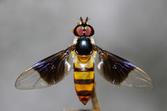 Image of a drosophila melanogaster on a branch. Insect Animal. Diptera Stock Photography