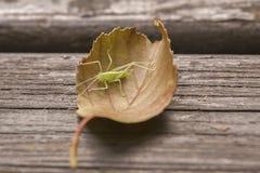 Drumming katydid. It is image of drumming katydid Stock Photos