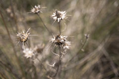 Image of a dry brown thistle Royalty Free Stock Images