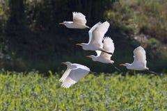 Image du vol de héron Héron images libres de droits
