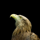 Image of an eagle Stock Photo