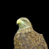 Image of an eagle on a black background Royalty Free Stock Images