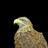 Image of an eagle Stock Image