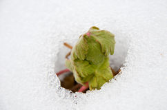Image of early sprout appearing from melting snowcover. In spring Stock Photo