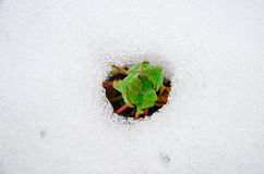 Image of early sprout appearing from melting snowcover. In spring Stock Photography