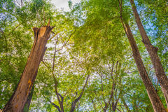 image of East Indian Walnut tree Royalty Free Stock Photography