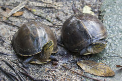 Image of an eastern chicken turtle. Stock Images