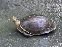 Image of an eastern chicken turtle. Royalty Free Stock Photo