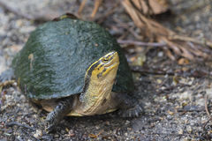 Image of an eastern chicken turtle. Royalty Free Stock Images