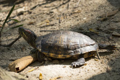 Image of an eastern chicken turtle in thailand. Stock Image