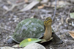 Image of an eastern chicken turtle in thailand. Royalty Free Stock Photography