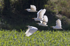 Image of egret flying. Heron. Royalty Free Stock Images