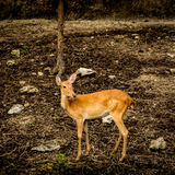 Image of Eld`s deer. Image of Female eld`s deer Stock Photo
