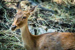 Image of Eld`s deer. Head of female eld`s deer Stock Images