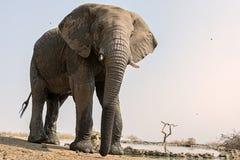Elephant at waterhole royalty free stock images
