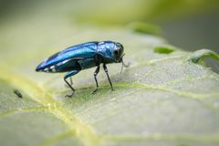 Image of Emerald Ash Borer Beetle on a green leaf. Insect. Animal Royalty Free Stock Image