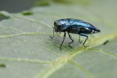 Image of Emerald Ash Borer Beetle on a green leaf. Insect. Animal Stock Image