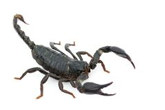 Image of emperor scorpion Pandinus imperator. Image of emperor scorpion Pandinus imperator on a white background. Insect. Animal stock images