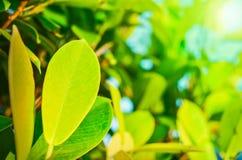 Image en gros plan des feuilles vertes avec l'éclat images libres de droits