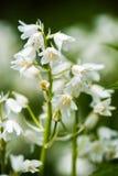 Image en gros plan des fleurs de cloche blanches de ressort Foyer sélectif photographie stock libre de droits