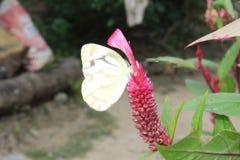 Image en gros plan du papillon blanc pionnier dépouillé de câpre blanche ou indienne se reposant sur les woolflowers de couleur o images stock