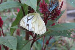 Image en gros plan du papillon blanc pionnier dépouillé de câpre blanche ou indienne se reposant sur les woolflowers de couleur o photographie stock