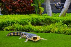 Alligator on green grass looking towards camera Royalty Free Stock Image