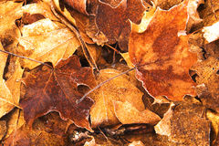Image of Fallen Maple Leaves. On forest floor royalty free stock photography