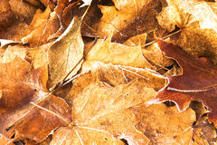 Image of Fallen Maple Leaves. On forest floor stock image