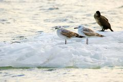 Feathered seagulls floating on an ice floe along the river Stock Photo