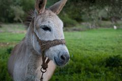 A closeup of a donkey. This image features a closeup of a donkey in a green field stock image