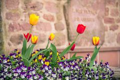 Red and yellow tulips grow in france. This image features red and yellow tulips growing in france stock photo