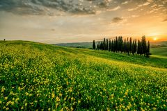 A field in italy with trees in the background. This image features a warm yellow and green field in italy with trees in the background stock image
