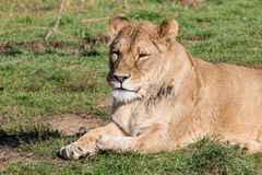 Image of a female african  lion on nature background. Wild Anima Royalty Free Stock Images