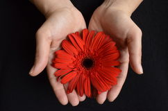 Female holding red flower in her hands Royalty Free Stock Images